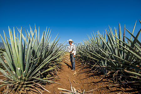 harvesting agave for tequila tequila unesco