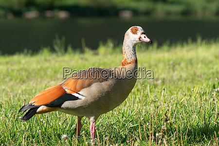 nile goose alopochen aegyptiaca