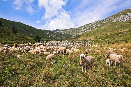 livestock farm flock of sheep in