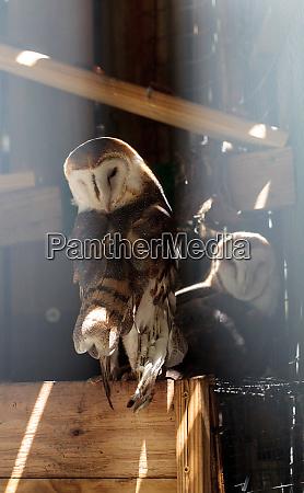 barn owl tyto alba takes shelter