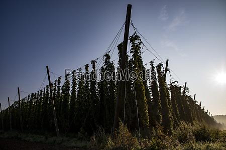 hop cultivation bavaria