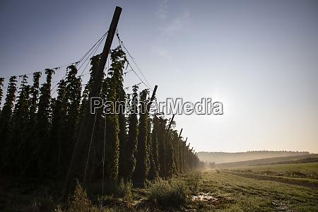 landscape hops