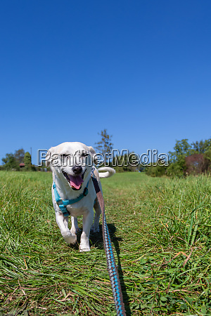 small white dog on a leash