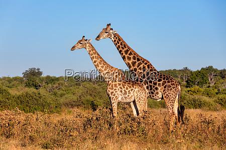 south african giraffe mating in chobe
