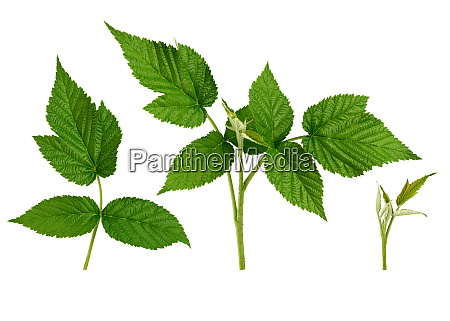 set of raspberry twig shoot branches