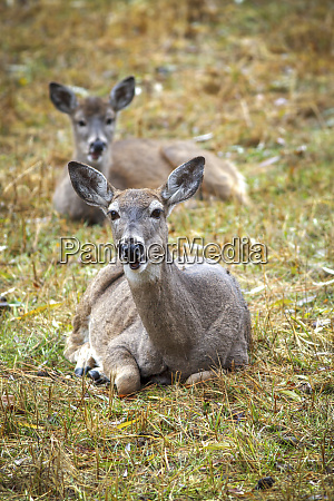 two deer laying down in grass