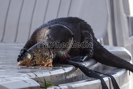 otter busy eating fish