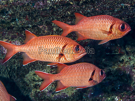 two bigscale soldierfish myripristis berndti and