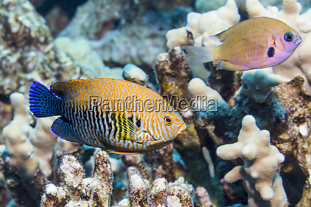 potters angelfish centropyge potteri that was