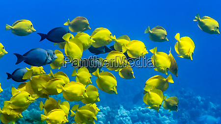 yellow tang zebrasoma flavescens and a