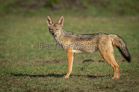 black baked jackal stands on grass