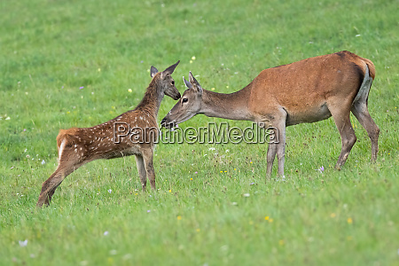 young red deer calf touching head