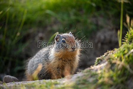 ground squirrels of banff national park