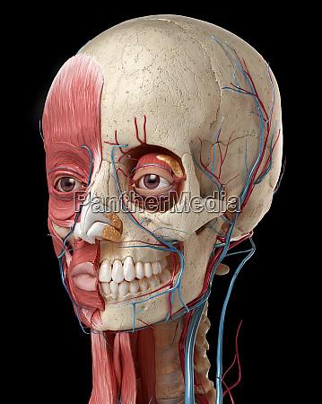 3d anatomy illustration of human head