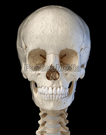 human skull viewed from the front