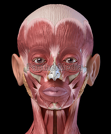 human head muscles eyes and nose