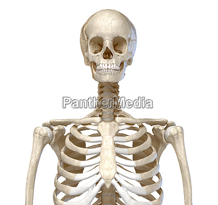 human anatomy skeletal system of the