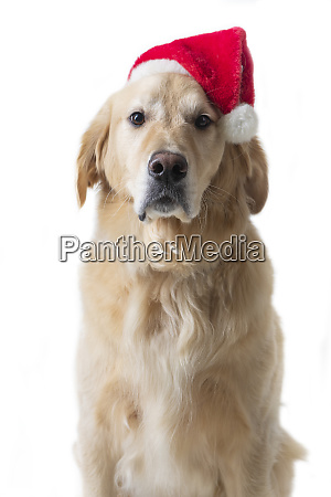 golden retriever dog wearing santa hat