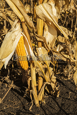 dried and ripened corn crop at