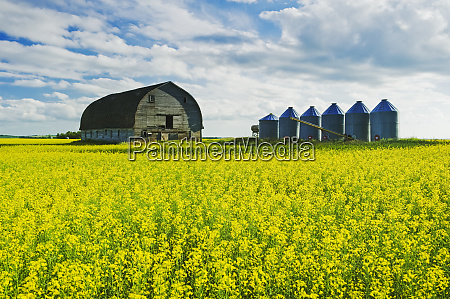 a field of bloom stage canola
