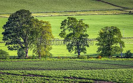 lush green potato fields and trees