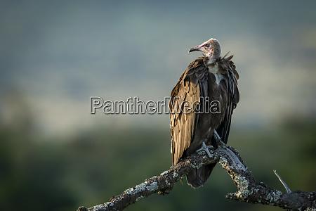 hooded vulture necrosyrtes monachus on dead