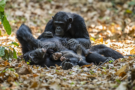 female chimpanzee pan troglodytes lying on