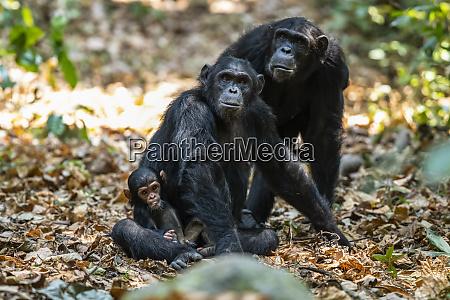 female chimpanzee pan troglodytes and a