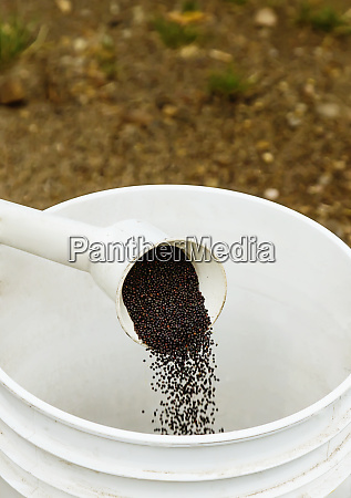 canola seed sample being poured into