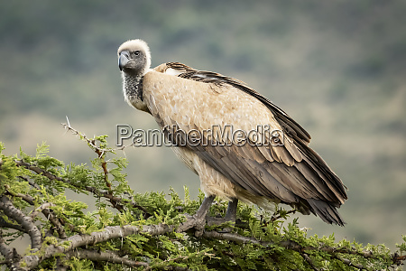 african white backed vulture gyps africanus