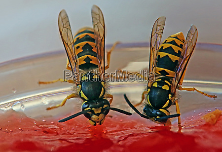 two wasps as uninvited guests at