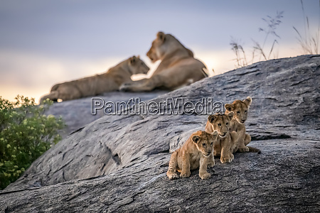 three lion cubs panthera leo sitting