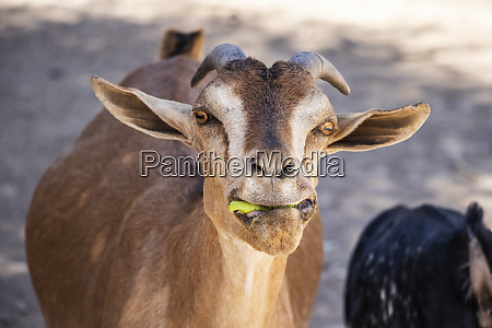 goat eating something green in its