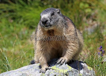 alpine marmot marmota marmota frontal