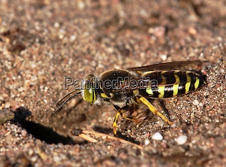 macro large gyro wasp bembix rostrata