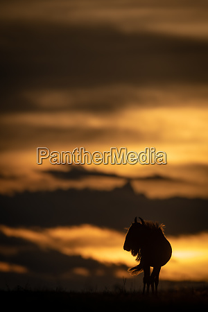 blue wildebeest stands silhouetted against sunset