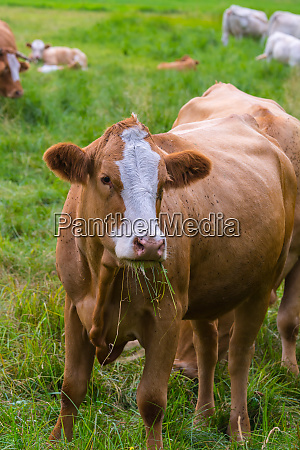 young cows graze on the meadow