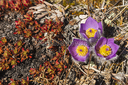 pasqueflowers pulsatilla on donnelly dome alaska