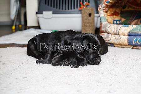 little dogs sleep