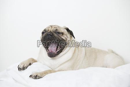 close up of a pug dog