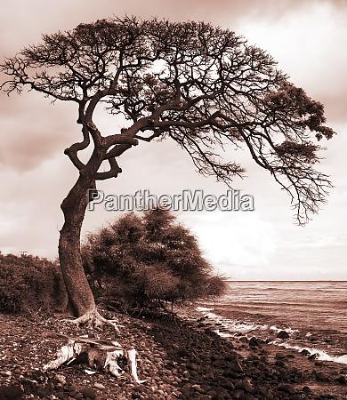 leafless tree along a shoreline in