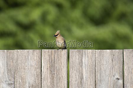 a male cedar waxwing bombycilla