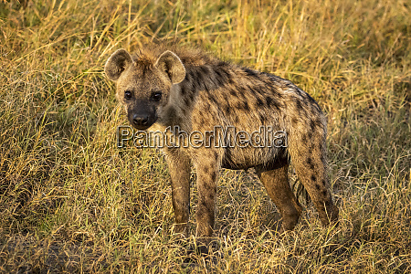 spotted hyena crocuta crocuta stands looking