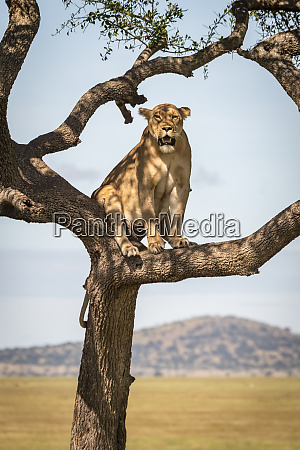 lioness panthera leo sits in tree