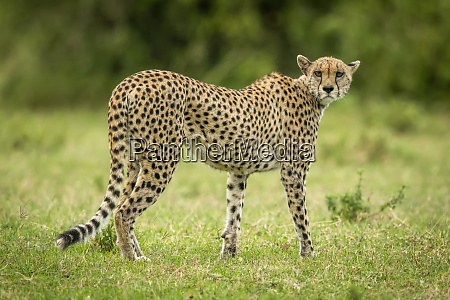 cheetah acinonyx jubatus crosses grass looking