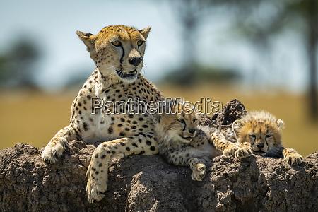 cheetah acinonyx jubatus lies on mound