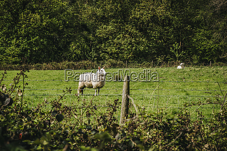 sheep ovis aries in the english