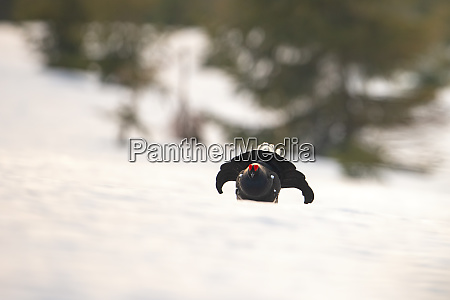 game bird displaying in wilderness with