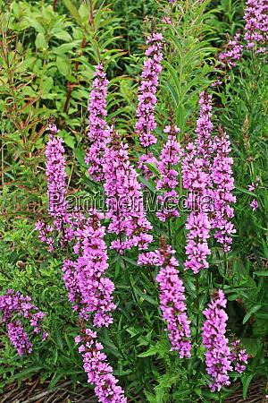 wildflower lythrum salicaria
