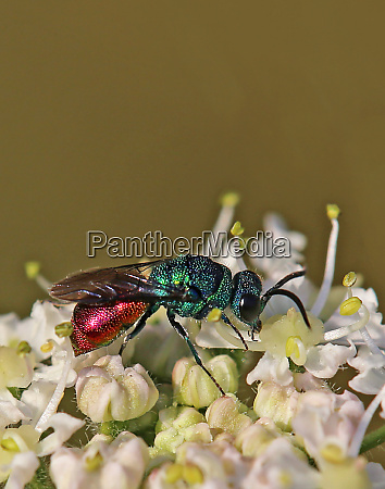 male of the sand gold wasp